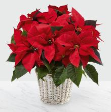"The Red Poinsettia Basket 6"" 5 Bloom"